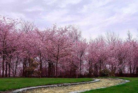 日本北海道5天樱花物语双飞品质游